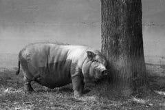 Groot varken op een de safarilandbouwbedrijf van het land royalty-vrije stock afbeelding