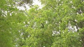 Groot vergankelijk bospanorama, vergankelijk bos, esdoornbos stock footage