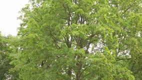 Groot vergankelijk bospanorama, vergankelijk bos, esdoornbos stock videobeelden