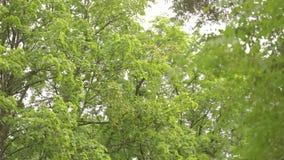 Groot vergankelijk bospanorama, vergankelijk bos, esdoornbos stock video