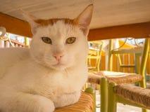 Groot vet kattenportret op een stoel Stock Fotografie
