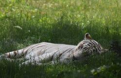 Groot Wit Bengalen Tiger Laying in het Gras Royalty-vrije Stock Fotografie