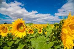 Groot zonnebloemgebied, brede hoekspruit stock afbeelding