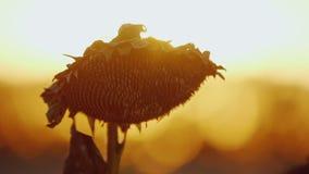 Groot zonnebloemhoofd Rijp en klaar voor oogst die in de wind bij zonsondergang op een achtergrond van oranje hemel slingeren stock videobeelden