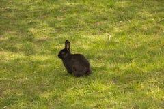 Groot zwart konijn Stock Foto