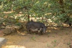 Groot zwart varken op een zandige landbouwbedrijfyard onder een groene boom stock fotografie