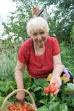 Grootmoeder die aardbeien toont stock afbeelding