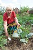 Grootmoeder die kool wiedt Stock Foto's