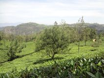 Grootste Theestaat in Sri Lanka stock foto's