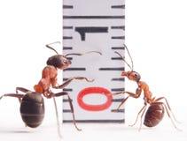 Groottekwesties, mieren en centimeter Stock Foto's