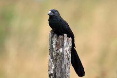 Groove-billed Ani Royalty Free Stock Images