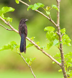 Groove-billed Ani Stock Photography