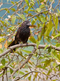 Groove-billed Ani close-up Stock Photography