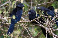 Groove-billed ani  - Crotophaga sulcirostris. Close up of a group of groove billed anis perched on a small branch in the rainforest of Costa Rica Stock Photos