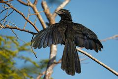 Groove-billed Ani - Crotophaga sulcirostris tropical bird in the cuckoo family, long tail and a large, curved beak. Resident. Species from Texas, Mexico to royalty free stock photo