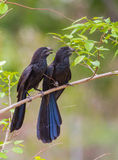 Groove-billed Ani Stock Image