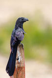 Groove-billed Ani Royalty Free Stock Photography