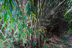 Groove of young bamboo tree with leaves photo taken in Kebun Raya Bogor Indonesia Stock Image