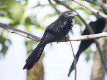 Grooved billed ani standing on a branch Royalty Free Stock Image