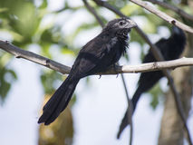Grooved billed ani standing on a branch Royalty Free Stock Photos
