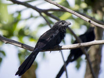 Grooved billed ani standing on a branch Stock Photos