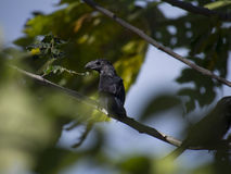 Grooved billed ani standing on a branch Royalty Free Stock Photo