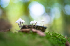 Grooved bonnet toadstool, mushroom. Mycena polygramma. Nature in. A group of poisonous mushrooms (fungus, toadstools) and moss on rotten stump Stock Photography