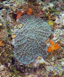Grooved Fungus Coral Stock Photo