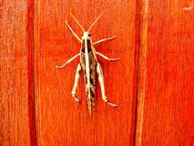 Between grooves. A large grasshopper climbing up a varnished wooden door Royalty Free Stock Images