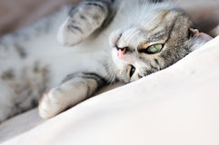 Groovy cat. Laying on the sofa Royalty Free Stock Photos