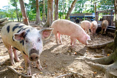 Grop of piglets on farm, one pig looking in camera Royalty Free Stock Photos