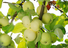 Grope of white apples on the branch Royalty Free Stock Photos