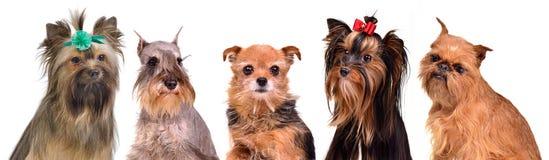 Gropu dei ritratti dei piccoli cani Fotografia Stock Libera da Diritti