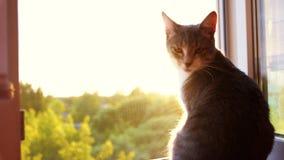Gros chat châtré se reposant sur la fenêtre au coucher du soleil banque de vidéos