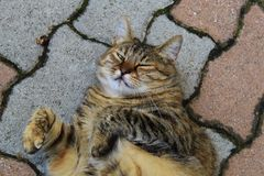 Gros chat de Brown s'étendant sur les briques blanches et rouges photos stock