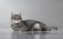 Gros chat rayé britannique Photos libres de droits