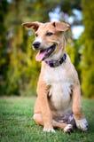 Gros chien thaïlandais Photos stock