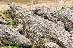 Gros crocodile avec des amis Image stock