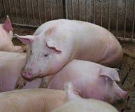 gros et grand porc se penchant au-dessus du dos d'un autre porc Images libres de droits