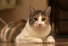 Gros jouer de chat Photographie stock libre de droits