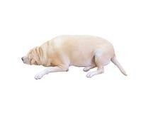 Gros labrador retriever, 8 années, sommeil sur le fond blanc, Photo stock