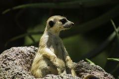 Gros Meerkat Photo libre de droits