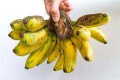 Gros Michel Banana Bunch Fotografia Stock Libera da Diritti