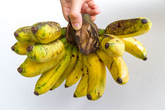 Gros Michel Banana Bunch. A banana bunch of the Gros Michel variety held in the hand of a young woman, isolated on white Royalty Free Stock Photography
