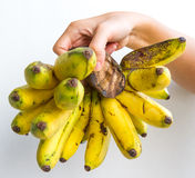 Gros Michel Bananas in Hand. A banana bunch of the Gros Michel variety held in the hand of a young woman, isolated on white Stock Photography