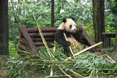Gros panda sur un banc Image libre de droits