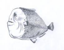Gros poissons de piranha Images libres de droits