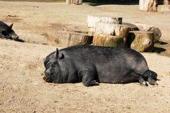 Gros porc paresseux dormant au soleil Image stock