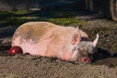 Gros porc somnolent dans la boue Photos libres de droits
