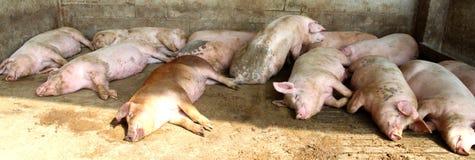 Gros porcs dans l'étable de la ferme Photographie stock